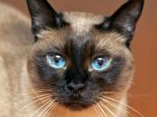Gato Siamês 1