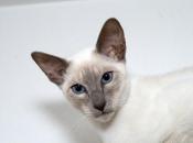 Gato Siamês 2