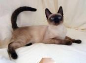 Gato Siamês 3