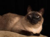 Gato Siamês 5