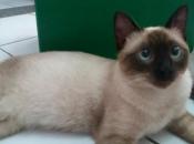 Gato Siamês 6