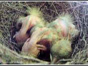 Gavião-Miúdo - Reprodução 5