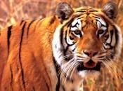 Gênero Panthera 1