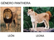 Gênero Panthera 2
