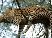 Gênero Panthera 3