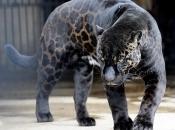 Gênero Panthera 4