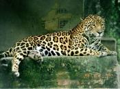 Gênero Panthera 5