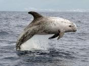 Golfinho-de-risso2