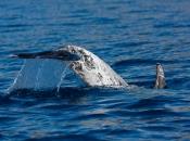 Golfinho-de-risso5