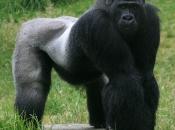 Gorila-do-ocidente2