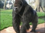 Gorila-do-ocidente3