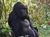 Gorila-do-ocidente4