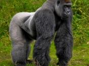 Gorila-do-ocidente5