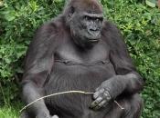 Gorila-do-ocidente56