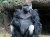 Gorila-do-ocidente567