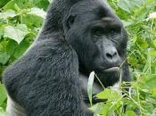 gorila do Oriente 1