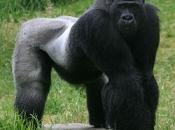 gorila do Oriente 2