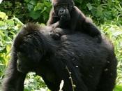 gorila do Oriente 3