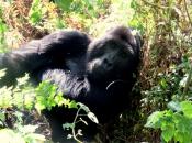 gorila do Oriente 5