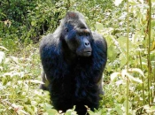 gorila do Oriente 6