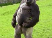 gorila do oriente