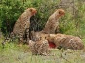 Guepardo do Sul da África Comendo 1