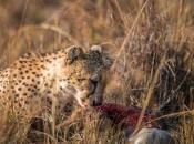 Guepardo do Sul da África Comendo 3
