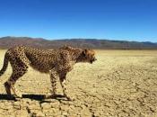 Guepardo do Sul da África 1