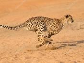 Guepardo do Sul da África 2
