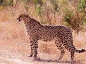 Guepardo do Sul da África 3