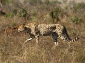 Guepardo do Sul da África 4