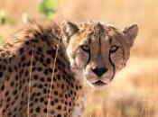 Guepardo do Sul da África 5