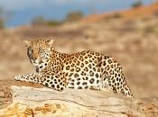 Guepardo do Sul da África 6