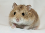 Hamster Campbell 1