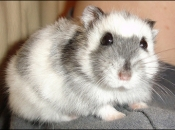 Hamster Campbell 2