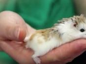 Hamster Roborovski1
