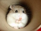 Hamster Roborovski2