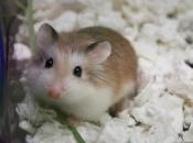 Hamster Roborovski3