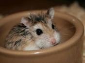 Hamster Roborovski5