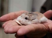 Hamster Roborovski6