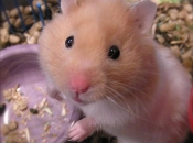 Hamster Sírio 1