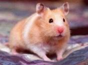 Hamster Sírio 3