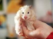 Hamster Sírio 4