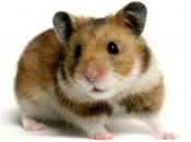 Hamster Sírio 5