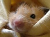 Hamster Sírio 6