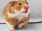 Hamster Sírio 7