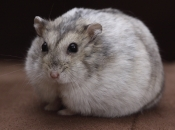 Hamster Winter-White  1