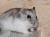 Hamster Winter-White  2