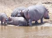 Hipopótamo-comum2