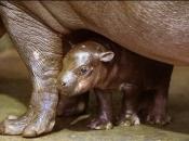 Hipopótamo-comum4